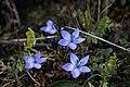 Flower at Langtang National Park.jpg