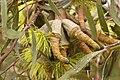 Flower of an unidentified Eucalyptus tree.jpg