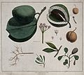 Flowers, fruit and leaves of five plants, including Calotrop Wellcome V0043234.jpg