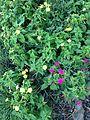 Flowers of Mirabilis jalapa 20160913.jpg