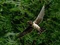 Flying (19139505162).jpg