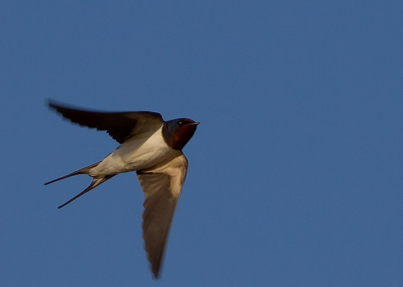 File:Flying swallow (6965069292).jpg