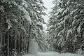 Forest near Ob river in Altai Region 36.JPG