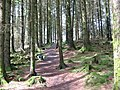 Forest walk at Kenick Burn - geograph.org.uk - 1362471.jpg