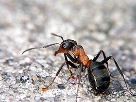 Une fourmi rousse semblable à 103 683e