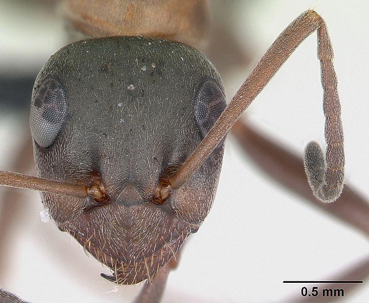 Head view of ant Formica rufibarbis specimen casent0173870.