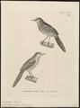 Formicivora malura - 1700-1880 - Print - Iconographia Zoologica - Special Collections University of Amsterdam - UBA01 IZ16400353.tif