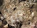 Fossilien Atzlriff 2.JPG