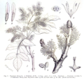 Fraxinus sp EP-IV2-003.png