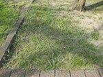 Friedhof Ruhland, Wald-Gelbstern beim Sandsteinrelief gegenüber der Friedhofskapelle, Frühling, 02.jpg