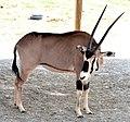 Fringe-Eared Oryx (7714881698).jpg