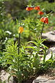 Fritillaria imperialis2.JPG