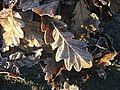 Frosted Leaves - geograph.org.uk - 699574.jpg