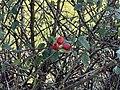 Fruits Églantinier Chemin Fasses - Saint-Cyr-sur-Menthon (FR01) - 2020-10-31 - 2.jpg