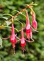 Fuchsia 'Henkelly's Consiva' 02.jpg