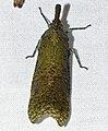Fulgorid Treehopper (Diareusa annularis) (27083123978).jpg