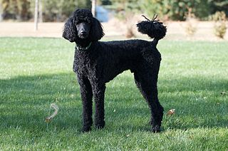 Poodle group of dog breeds, originating from continental Western Europe (either Germany or France)