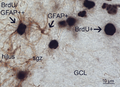 GFAP and BrdU double labeling in the rat subrganular zone.png