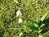 Galanthus woronowii06.jpg
