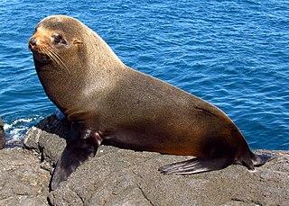 Galápagos fur seal species of mammal
