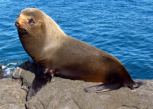 Galapagos Fur Seal, Santiago Island