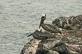 Galapagos Pelican.jpg
