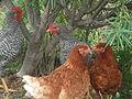 Gallinas Isa Brow y Jabeada Canaria con Gallo (2).JPG