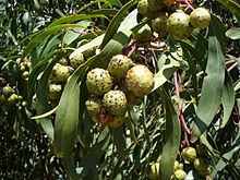 Round green ball-like galls among green phyllodes (leaves)