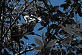 Gambá-de-orelha-branca (Didelphis albiventris 2).jpg