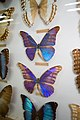 Gaudy blue butterflies (25885094165).jpg