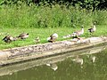 Geese and Goslings by the Grand Union Canal, Marsworth - geograph.org.uk - 1411591.jpg