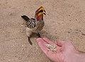 Gelbschnabeltoko im Krüger Park.jpg