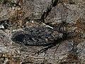 Gelechia rhombelliformis (28949649517).jpg