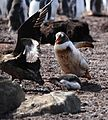Gentoo Penguin rescues its Chick from a Brown Skua (5751239051).jpg