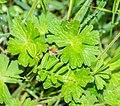 Geranium pyrenaicum in Aveyron (3).jpg