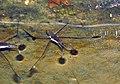 Gerridae (water striders) (Blunt Run, Muskingum Township, Muskingum County, Ohio, USA) 6 (22076838410).jpg
