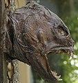 Getrockneter Seewolf Kopf.jpg