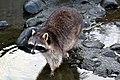 Gewone wasbeer (11467542214).jpg
