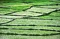 Gilan - Tutkabon - Sendes - Rice field - panoramio.jpg