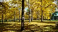 Ginkgo Grove at the State Arboretum of Virginia.jpg
