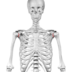 glenoid cavity - wikipedia, Cephalic Vein