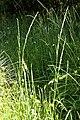 Glyceria.declinata2.-.lindsey.jpg