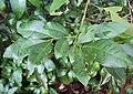 Glycosmis mauritiana 01.JPG