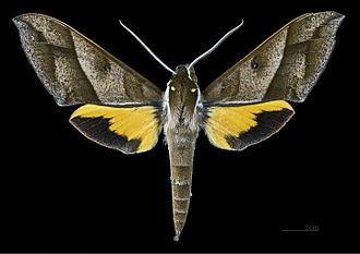 Gnathothlibus meeki - Gnathothlibus meeki  male dorsal MHNT