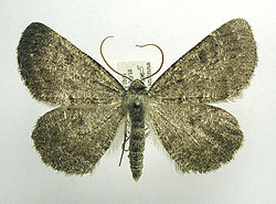 Gnophos obfuscata.jpg