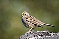 Golden-crowned Sparrow (Immature) (40376662932).jpg