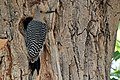 Golden-fronted Woodpecker - Flickr - GregTheBusker.jpg