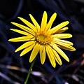 Golden Aster (5385566857).jpg