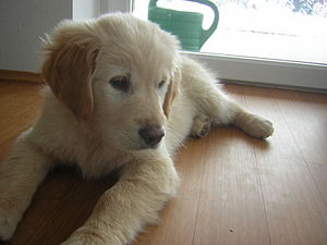 Deutsch: Golden Retriever Welpe