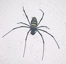 Golden silk orb-weaver kerala.jpg